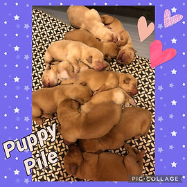 Red fox lab puppies
