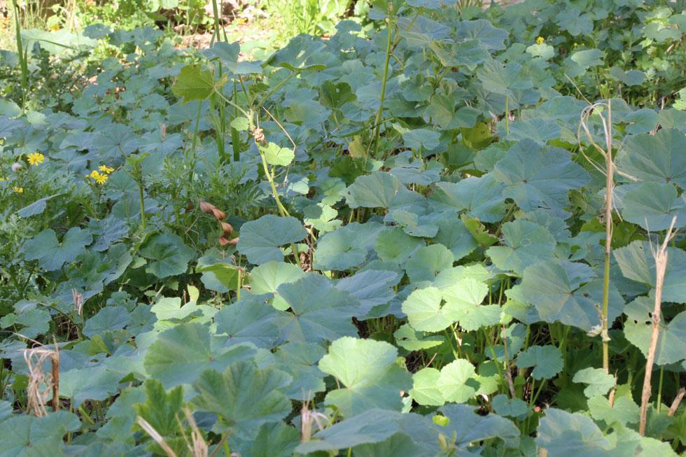 המוציא חובזה: איך עשב בר יכול לשפר א