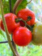 Tomato Tropic 2.jpg