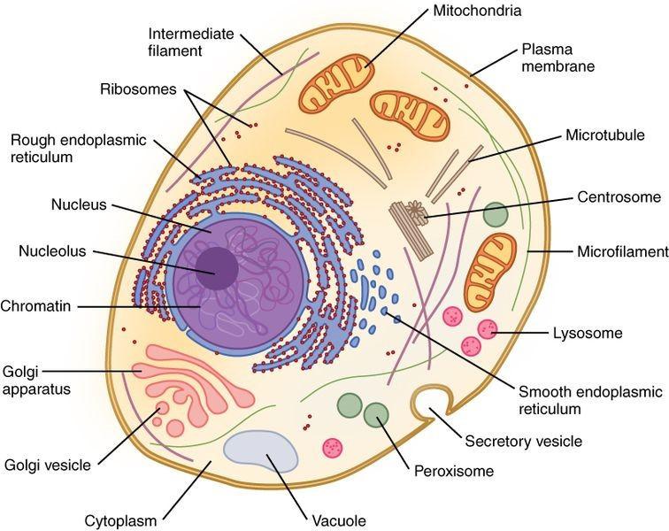 cell diagram