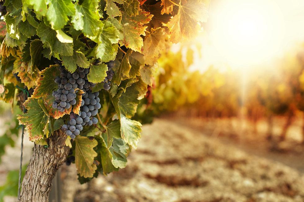 Vineyards at sunset in autumn harvest. R