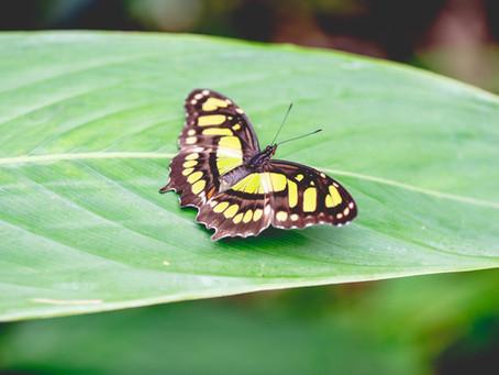 ¿Por qué importar mariposas desde Costa Rica?