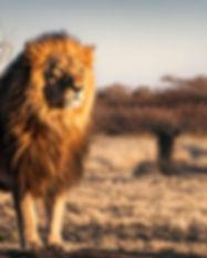Destination_South_Africa_Lion.jpg