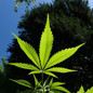 Cannabis in der Schweiz – sozial akzeptiert und doch verboten