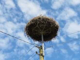 国鳥シュバシコウの巣