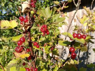 田舎の風景 - 森のベリー果実