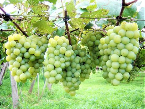 Uvas nativas da América
