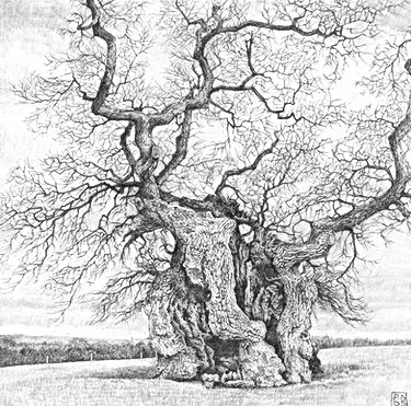 Graphite pencil on paper drawing of an oak tree by Dorset based, CLOSE assoctiated artist Paul Newman