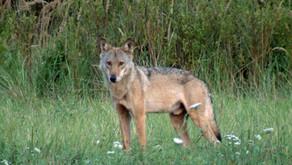 Totale Freiheit für den Wolf?