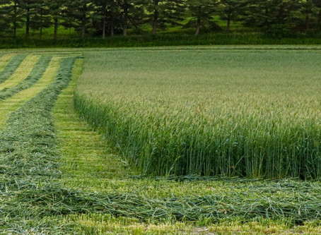 Feeding Rye or Triticale Silage to Dairy Cattle