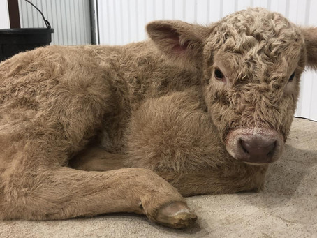Vet shares tips for managing hypothermia in newborn calves