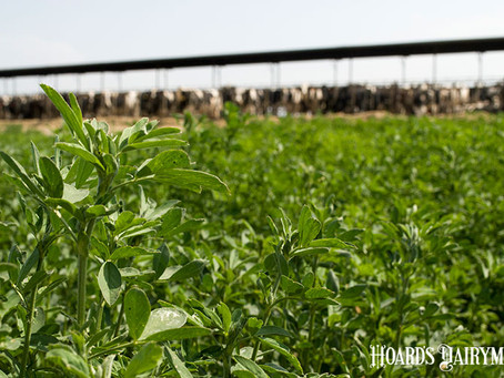 What's the long-term outlook for alfalfa?