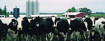 Holsteins For Beef Require Specific Management For Prime Results