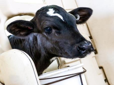 Feeding Colostrum Through Transition Phase Improves Calf Growth, Health