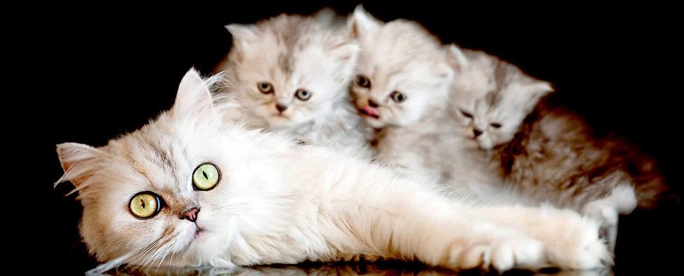 mom-cat-miss-her-kittens.jpg