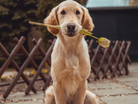 Three Essential Tips to successfully House Train Older Dogs