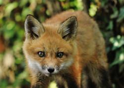 042414 Fox-T (2)