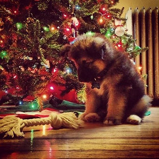 Christmas puppy with new toy.jpg