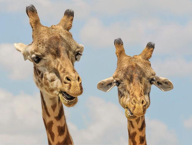 giraffe-901009_1920.jpg