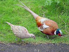 Male_and_female_pheasant.jpg
