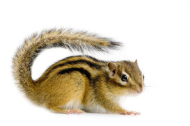 chipmunk-white-background-animal.jpg