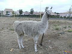 lama-blanc-visoflora-38265.jpg