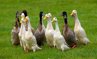 canard-coureur-indien-oiseau-basse-cour-