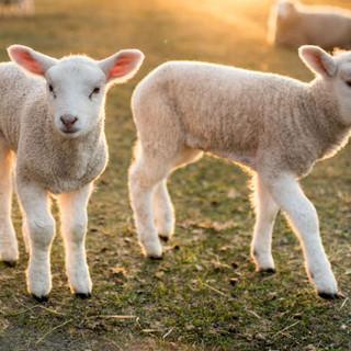 moutons-1024x589.jpg