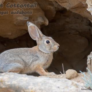 Desert-Cottontail-Silvilagus-audubonni-21sept2019-Barcus.jpg