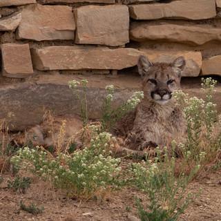 MtLion-female-cub-3--7july2014-84Ranch.jpg