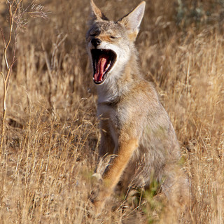 coyote-pup-16july2018-PED-yawn.jpg