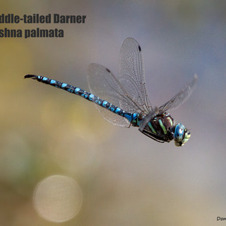 Paddletailed-Darner-23sept2012-CR88Xing-x.jpg