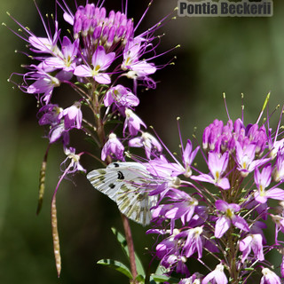 Becker's-White-Pintia-beckerii-4aug2013-PED-x-.jpg
