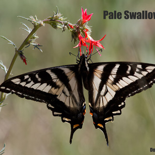 Pale-Swallowtail-12june2012-CathBluffs.jpg