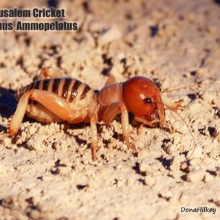 Jerusalem-Cricket-2sept20132.jpg