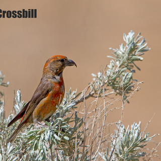 red-crossbill-25may2013-Barcus.jpg