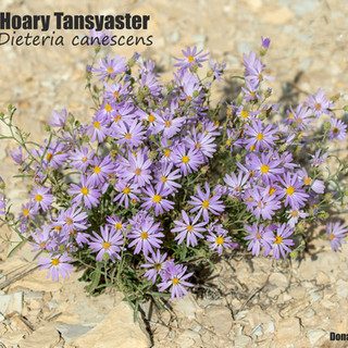 Tansy-Aster-Dieteria-canescens-10sept2021-PED.jpg