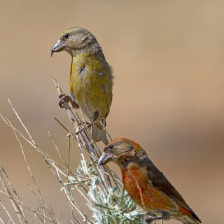 red-crossbill-pair-25may2013-Barcus-pm.jpg
