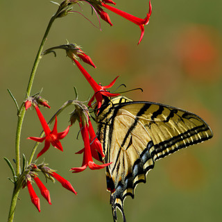 Two-tailed-Swallowtail-12june2012-Cath-Bluffs.jpg