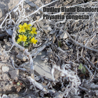 Physaria-conjesta-24april2020-PED-web.jpg