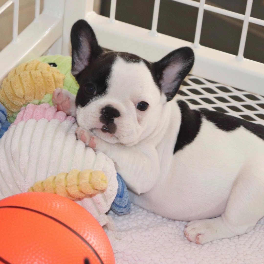 Pied French bulldog puppy
