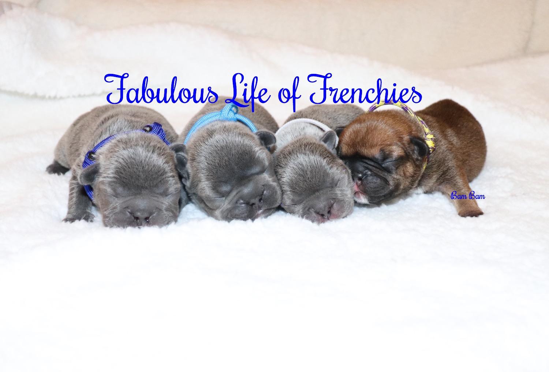 French Bulldog Breeder Las Vegas