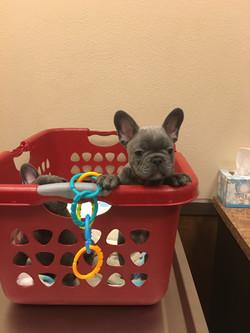 blue french bulldog puppies vegas