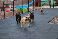 French Bulldog puppies Las Vegas