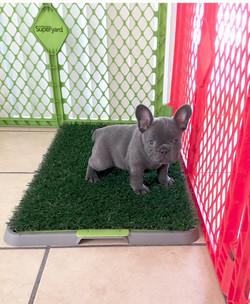 French Bulldog Puppy Training