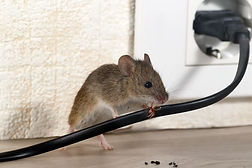 Canva - Closeup mouse gnaws wire  in an