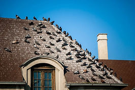 Canva - Pigeons on the roof covered with