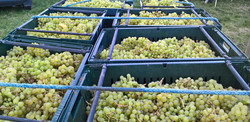 Grape harvest 2016