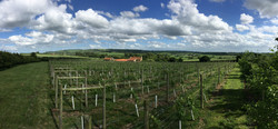 Panoramic Shot Vineyard Summer 2016