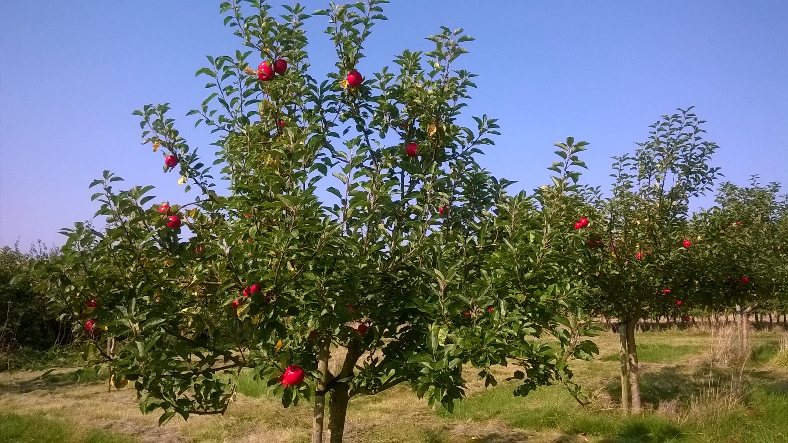 Orchard Summer 2016